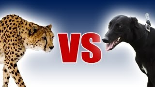 Cheetah vs Greyhound - World
