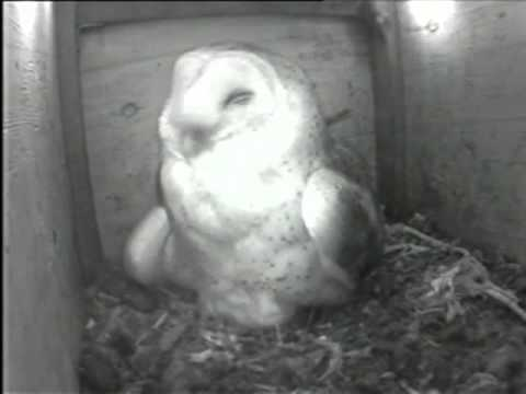 Live Owl Cam from Silicon Valley
