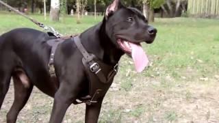 かっこいい本革ハーネス! プロの犬訓練にも使われているアイテム! 詳...