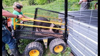 moving-pigs-across-farm-one-small-trailer-at-a-time