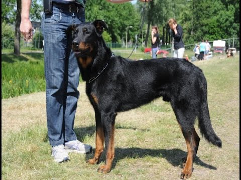 beauceron-dog-breed-|-french-shepherd-(beauceron-berger-de-beauce)---dog-breed