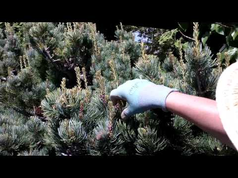 Candle Pruning Pines