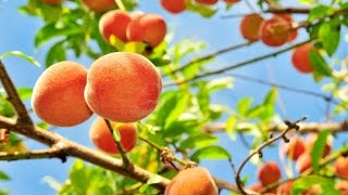 PEACH TREES - TIME LAPSE | Slide Show How to Grow Peaches