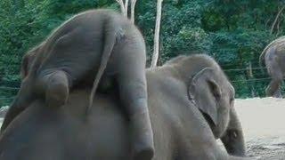 baby elephant rides mummy to get up