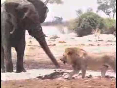 30 Lions  Kill  Elephant.flv