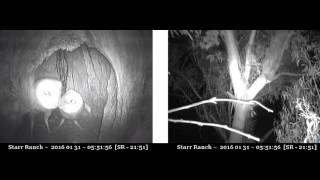 Video Male comes home, no prey gift, mating, female agitated - Audubon Starr Ranch Barn Owls download MP3, 3GP, MP4, WEBM, AVI, FLV November 2017