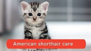 How to care for American shorthair cats Updated 2021