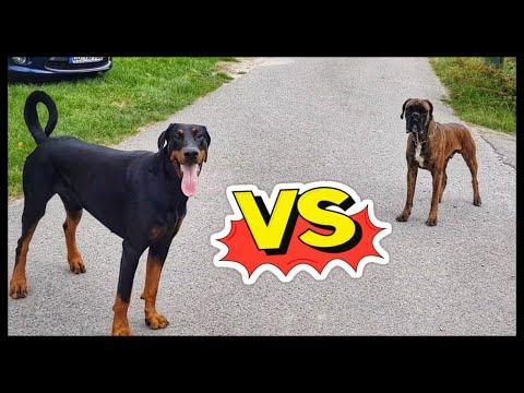 Dobermann und Boxer Hund
