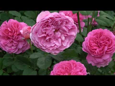 Лучшие сорта роз. Романтичные и выносливые!