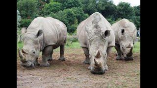 منوعات الآن | عملية ولادة لوحيد القرن الأبيض النادر في حديقة الحيوان الهولندية