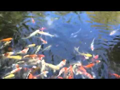 Koi fish pond at the Alexandria zoo.