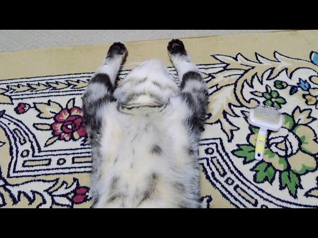 ブラッシングでバンザイ猫