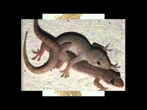 Một số hình ảnh về con Thạch Sùng (Thạch Thùng)