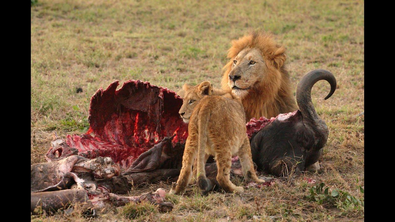 Лев--царь зверей.