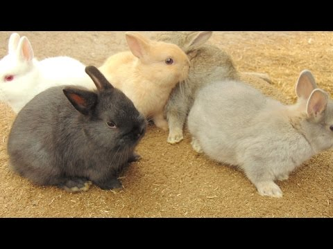 Rabbits -- A Discussion About Rabbit Husbandry and Drop Down Nest Boxes