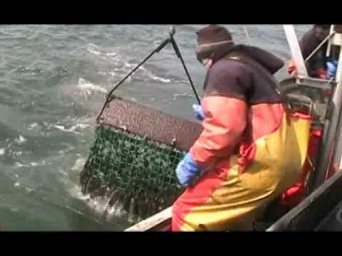 Dredging Oysters.wmv