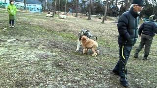 アイリッシュ・ウルフハウンドの子犬ちゃんと遊ぶスタンダードプードル。