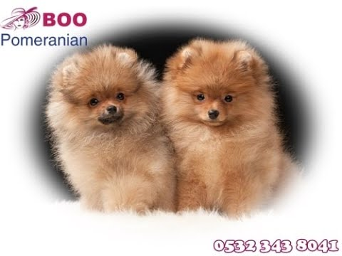 Boo >> Pomeranian Boo Yavrusu 05323438041 Youtube