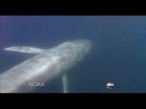 Blue Whale Migration Caught on Tape