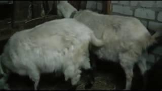 Как узнать котная коза или нет. Как прощупать шевеления козлят? How to know if a goat is pregnant?