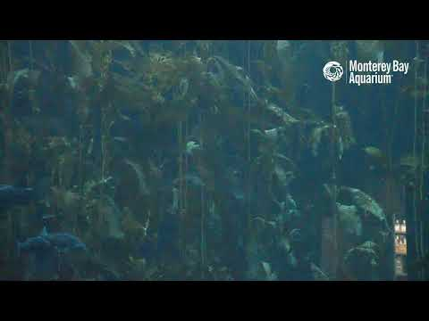 Frondwards into 2021 with the Kelp Forest Cam! | Monterey ...