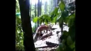 Cougar Stalks Small Boy! at zoo FUNNY!