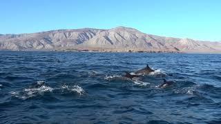 Superpod of dolphins near Bahia de Los Angeles