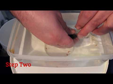 How To Strip African Cichlids - Egg Tumbler And Fry Care