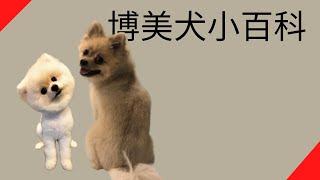 【品種動物系列】博美犬小百科