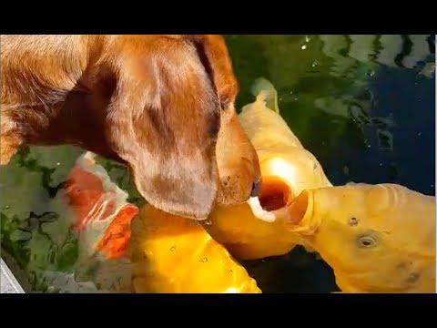 DOG KISSES BIG KOI FISH | AMAZING