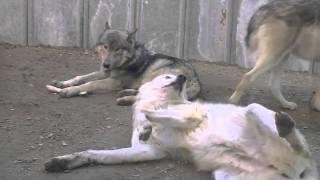円山動物園のシンリンオオカミのパック(群れ)、ジェイ(父/6歳)、キナコ(...