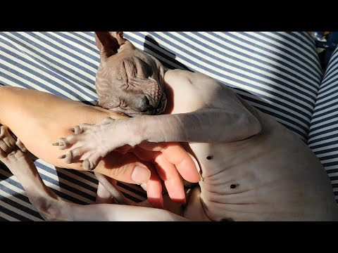 Cute sphynx cat Chikita wants to be patted / DonSphynx /