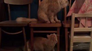 Рыжий кот и кошка. Брачные игры