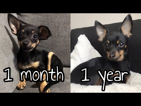 CHIHUAHUA FROM PUPPY TO ADULT | ONE MONTH TO ONE YEAR | DEER-HEAD CHIHUAHUA
