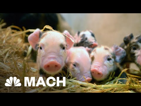 Genetic Engineering Has Created Disease Resistant Pigs | Mach | NBC News