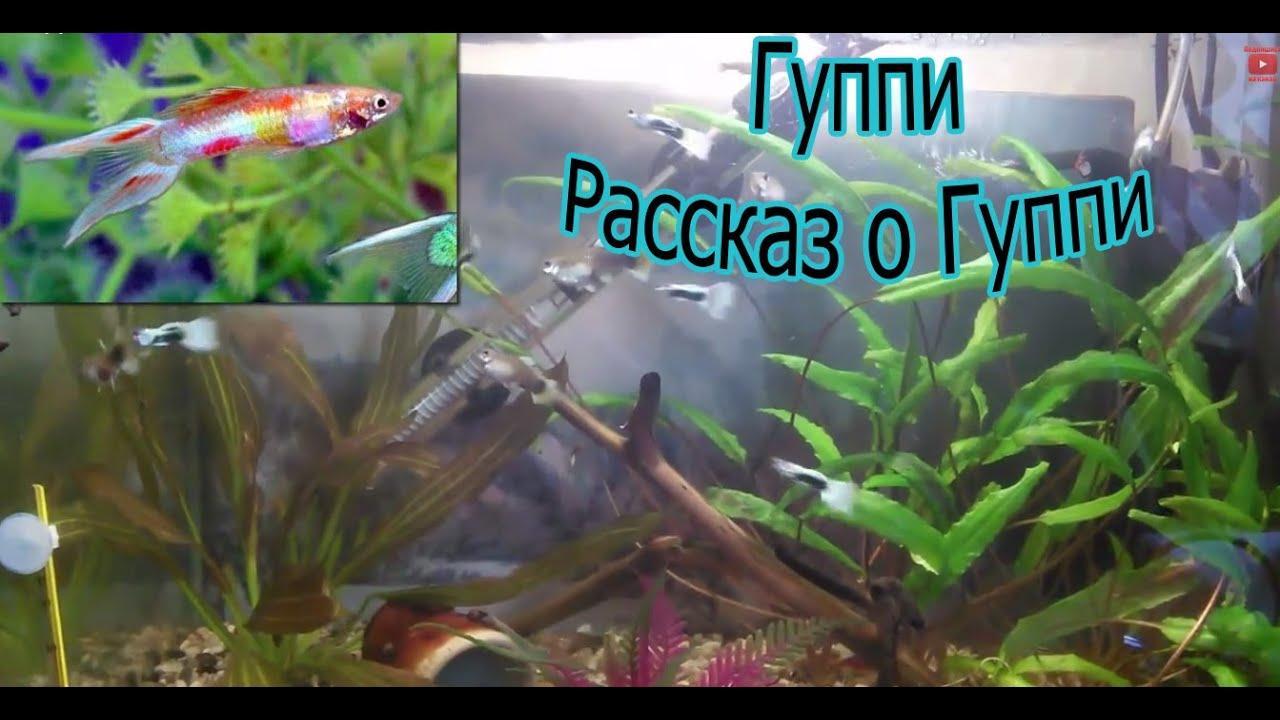 Аквариумная рыбка гурами, фото Родина рыбки, с кем уживается