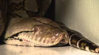 """2013 Guinness Worlds Largest Snake in Captivity in the world, """"MEDUSA"""" at The Edge of Hell"""
