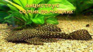 АНЦИСТРУС — СОМИК ПОМОЩНИК, аквариумные сомики. Сомик прилипала