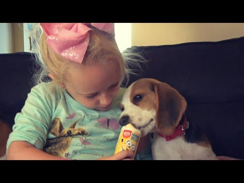 Beagle puppy eats ice cream for a first time and shares with best friend