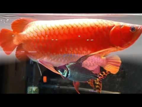 Ikan Arwana termahal Golden Red dan Super red  Albino