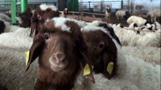 Küçükbaş Hayvancılık - Ağıl, Ahır Yapısı ve Barınaklar nasıl olmalı - 2. Bölüm