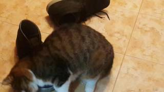 Кошка и ботинок