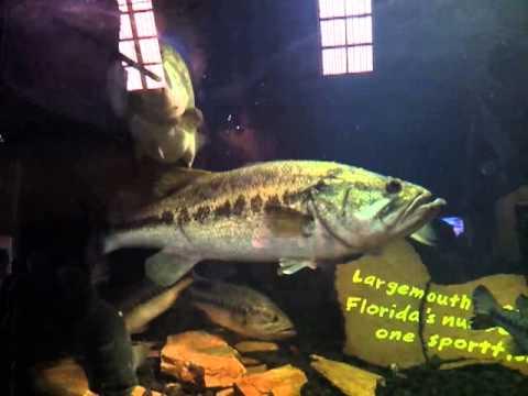 Good Size Largemouth Bass In An Aquarium Youtube