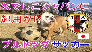 ブルドッグのブレアちゃんがサッカーに挑戦! 鉄壁のディフェンス!!な...