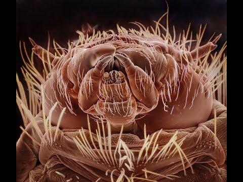 самый опасный жук в вашем доме. Под микроскопом. Ужас. Кожеед