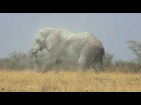 Huge bull elephant in Etosha National Park