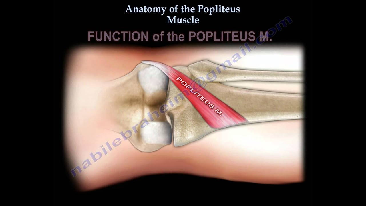 Anatomy Of The Popliteus Muscle - Everything You Need To Know - Dr ...