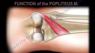 Anatomy Of The Popliteus Muscle - Everything You Need To Know - Dr. Nabil Ebraheim