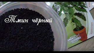 Тмин чёрный. Как прорастить семена для рассады?