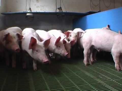 Как взять кровь у свиней